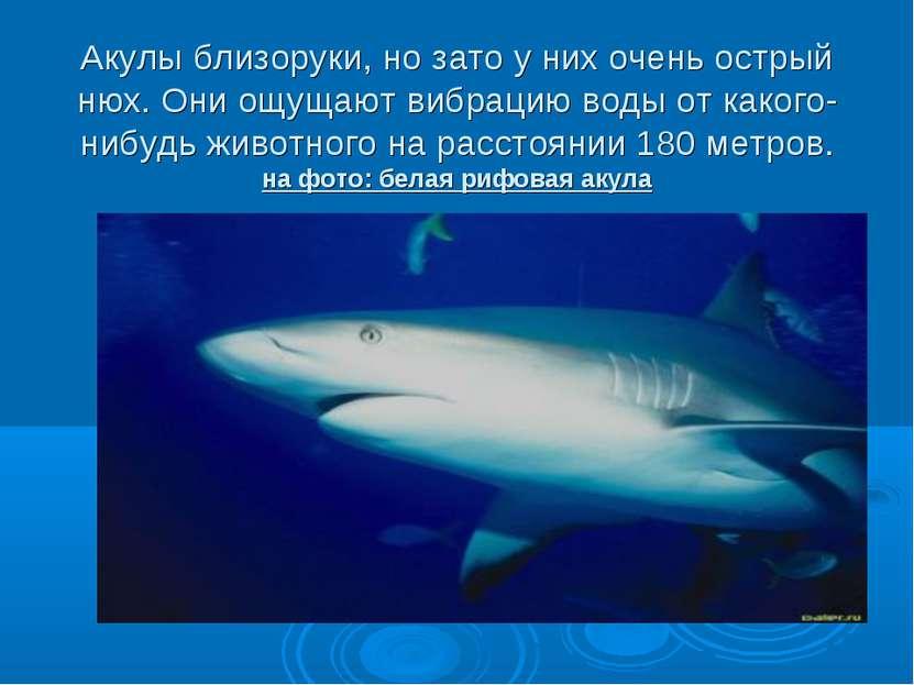 Акулы близоруки, но зато у них очень острый нюх. Они ощущают вибрацию воды от...