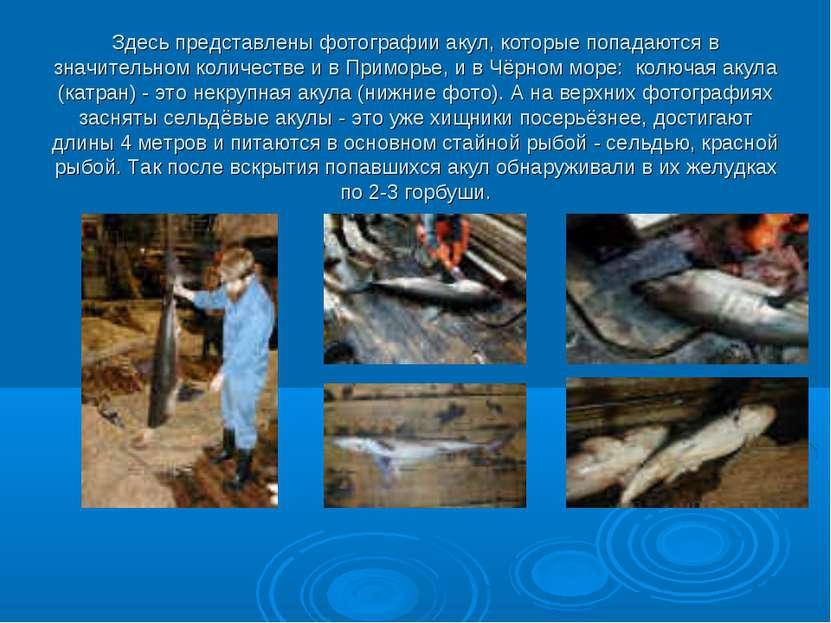 Здесь представлены фотографии акул, которые попадаются в значительном количес...