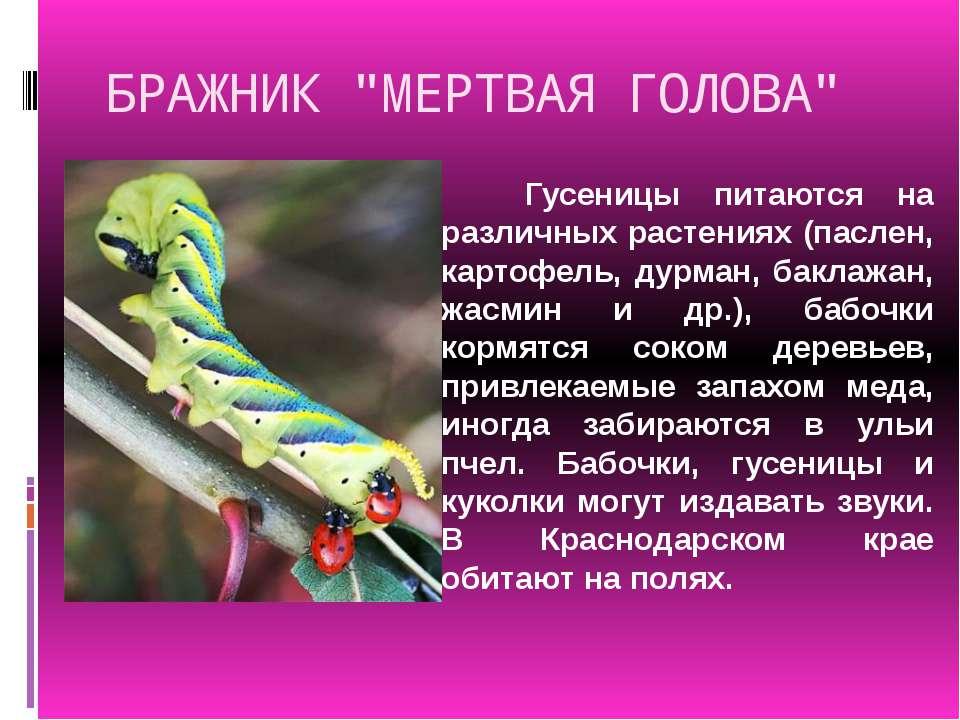 """БРАЖНИК """"МЕРТВАЯ ГОЛОВА"""" Гусеницы питаются на различных растениях (паслен, ка..."""
