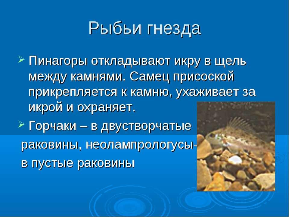 Рыбьи гнезда Пинагоры откладывают икру в щель между камнями. Самец присоской ...