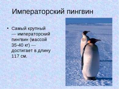 Императорский пингвин Самый крупный — императорский пингвин (массой 35-40 кг)...
