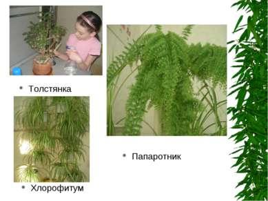 Толстянка Хлорофитум Папаротник