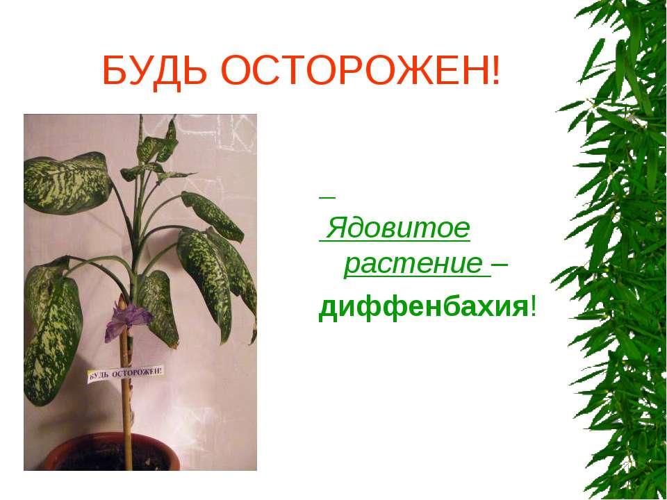 БУДЬ ОСТОРОЖЕН! Ядовитое растение – диффенбахия!