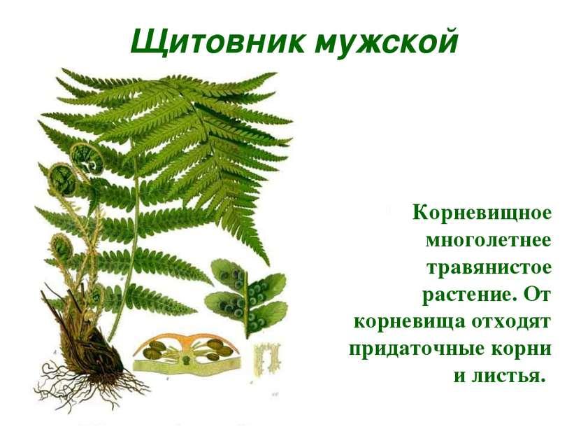 Щитовник мужской Корневищное многолетнее травянистое растение. От корневища о...