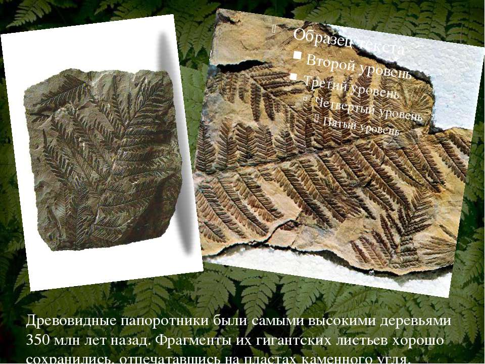 Древовидные папоротники были самыми высокими деревьями 350 млн лет назад. Фра...
