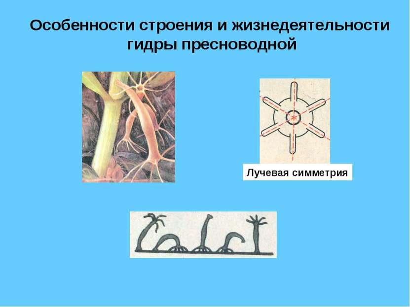 Особенности строения и жизнедеятельности гидры пресноводной