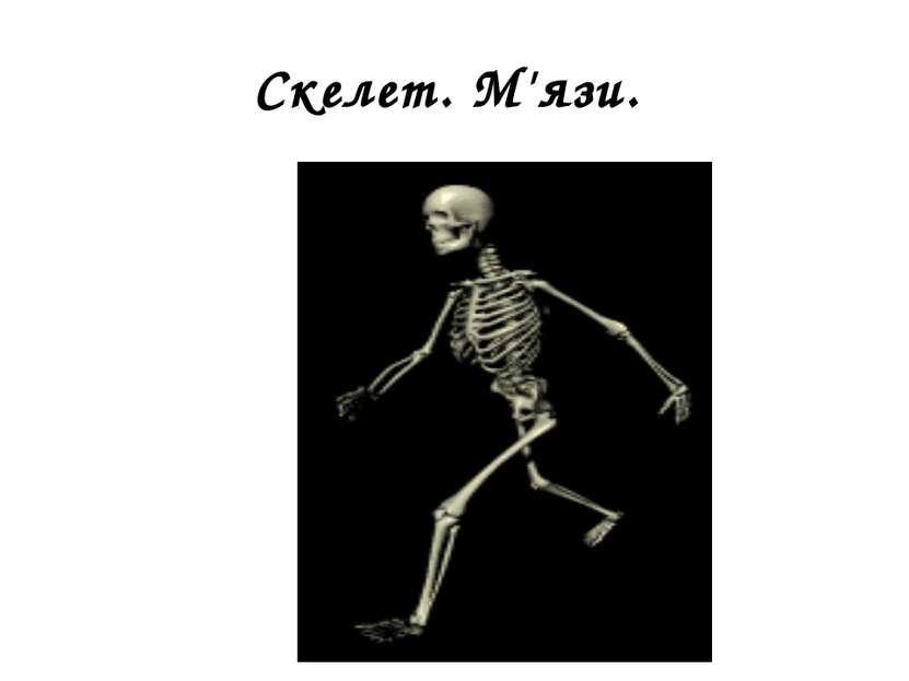 Скелет. М'язи.