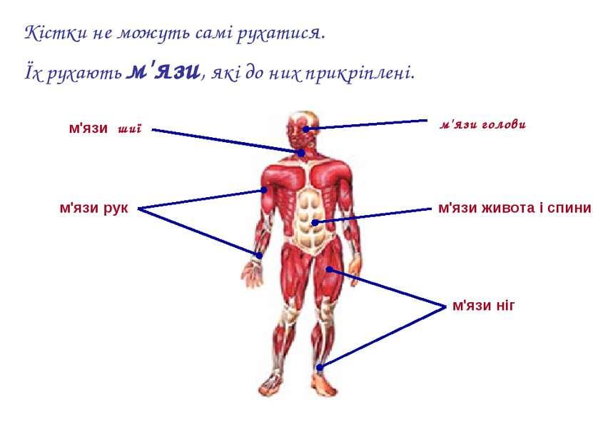 Кістки не можуть самі рухатися. Їх рухають м'язи, які до них прикріплені. м'я...