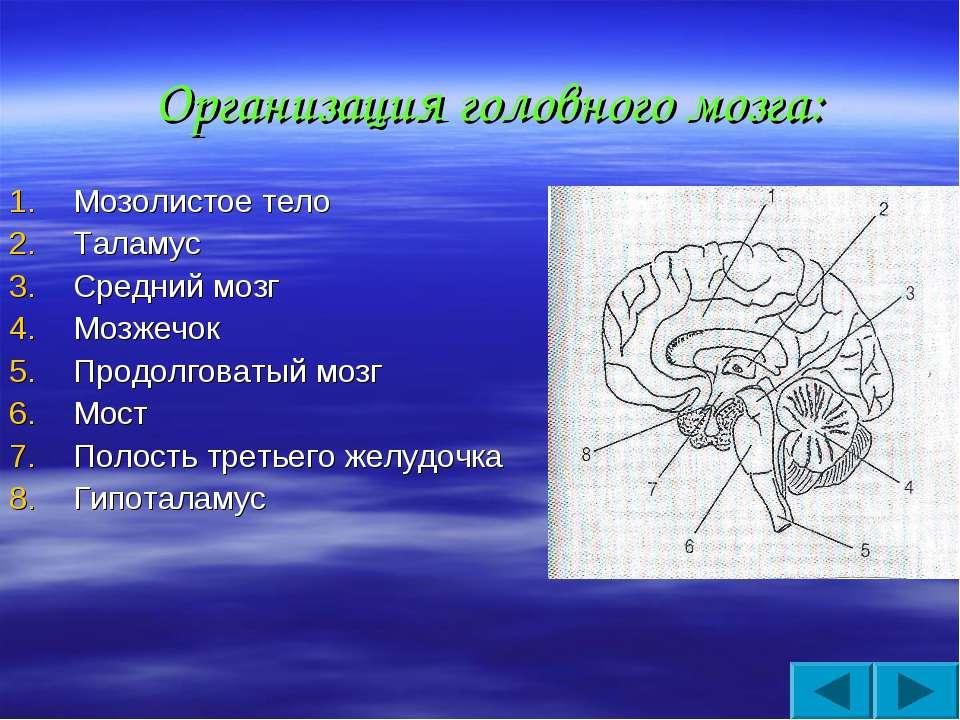 Организация головного мозга: Мозолистое тело Таламус Средний мозг Мозжечок Пр...