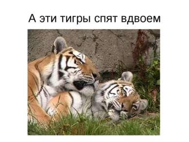 А эти тигры спят вдвоем