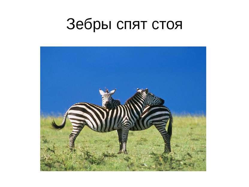 Зебры спят стоя