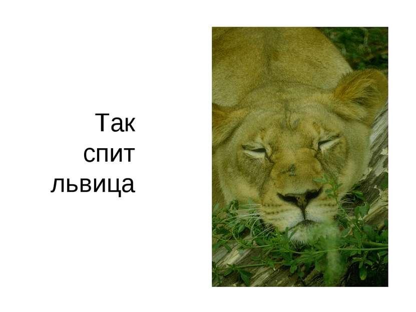 Так спит львица