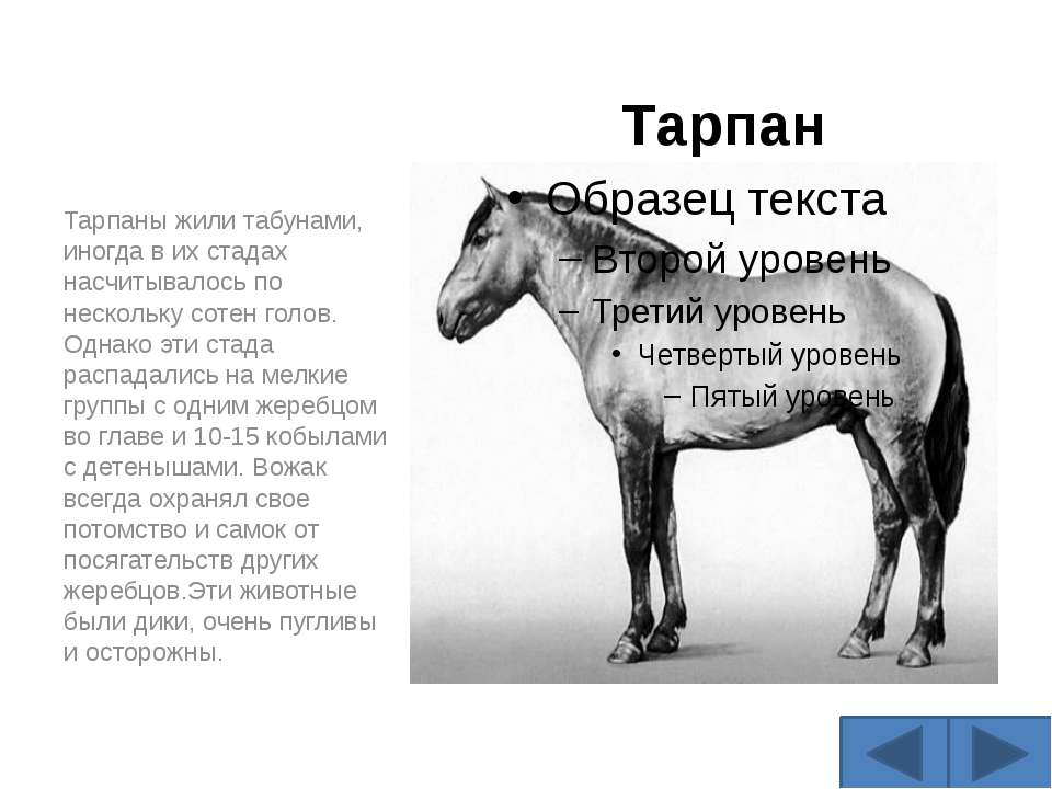Тарпан Тарпаны жили табунами, иногда в их стадах насчитывалось по нескольку с...