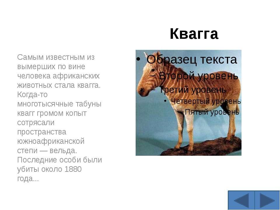 Квагга Самым известным из вымерших по вине человека африканских животных стал...