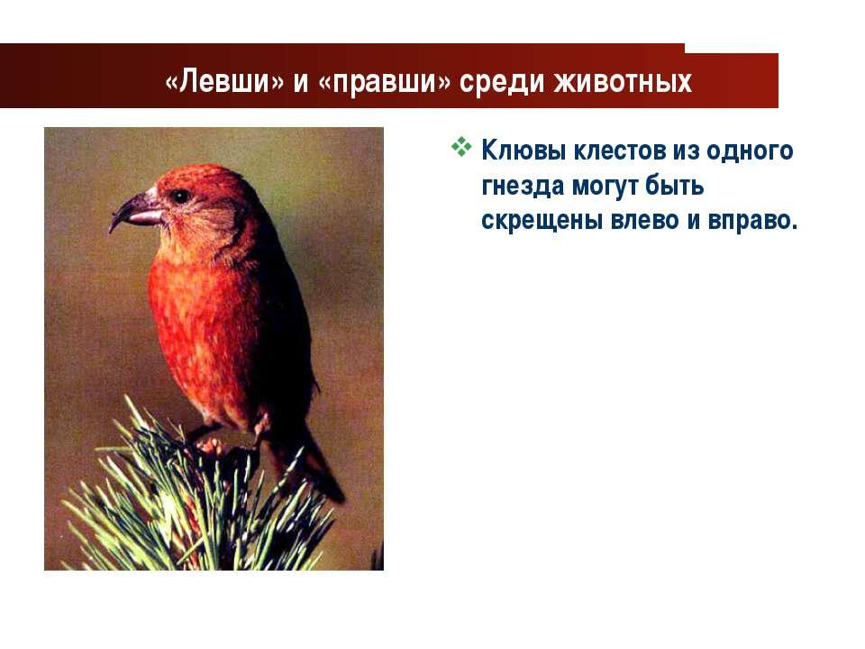 www.themegallery.com Company Logo «Левши» и «правши» среди животных Клювы кле...