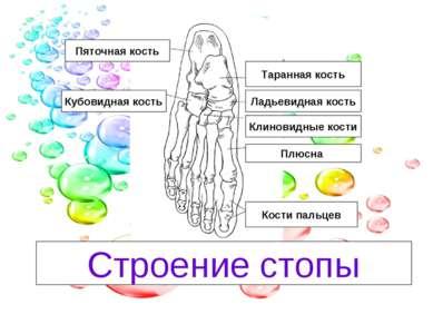Таранная кость Ладьевидная кость Клиновидные кости Плюсна Кости пальцев Кубов...