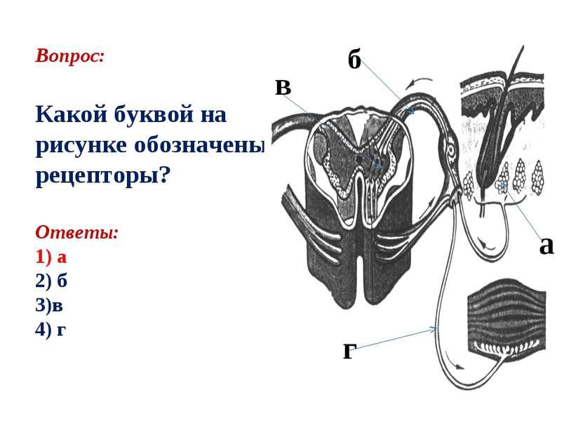 Вопрос: Какой буквой на рисунке обозначены рецепторы? Ответы: 1) а 2) б 3)в 4...