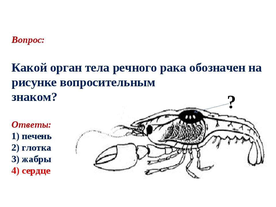 Вопрос: Какой орган тела речного рака обозначен на рисунке вопросительным зна...