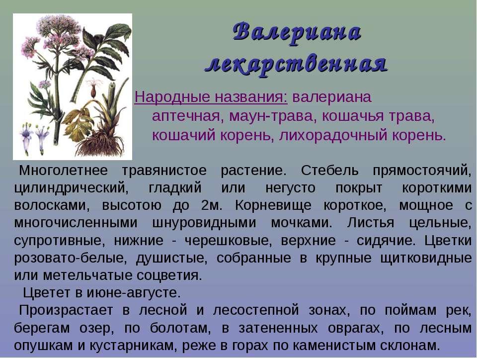 Валериана лекарственная Народные названия: валериана аптечная, маун-трава, ко...