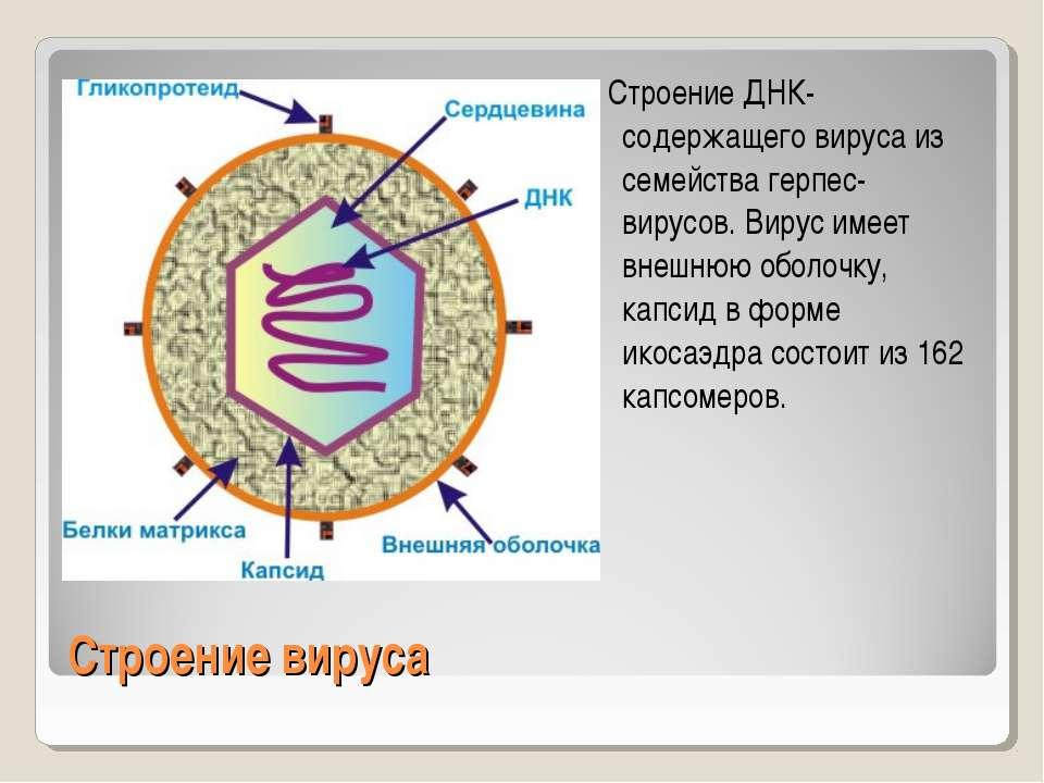 Строение вируса Строение ДНК-содержащего вируса из семейства герпес-вирусов. ...