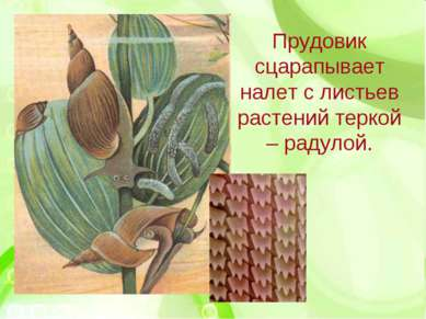 Прудовик сцарапывает налет с листьев растений теркой – радулой.