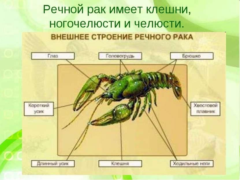Речной рак имеет клешни, ногочелюсти и челюсти.