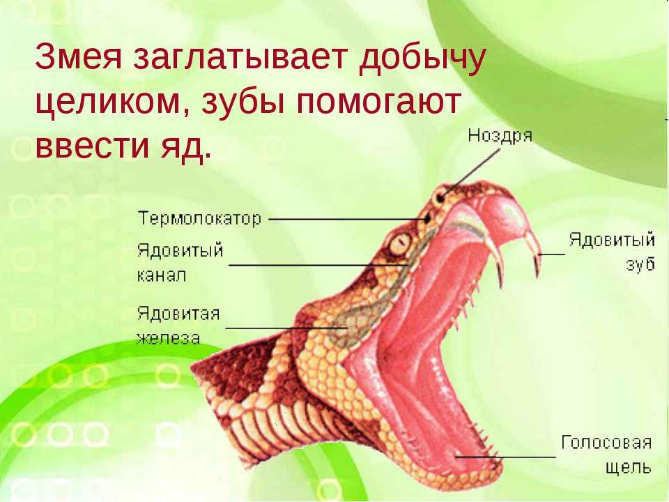 Змея заглатывает добычу целиком, зубы помогают ввести яд.