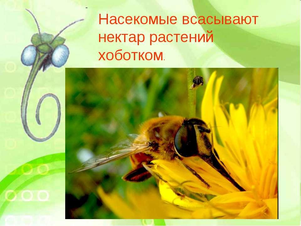 Насекомые всасывают нектар растений хоботком.