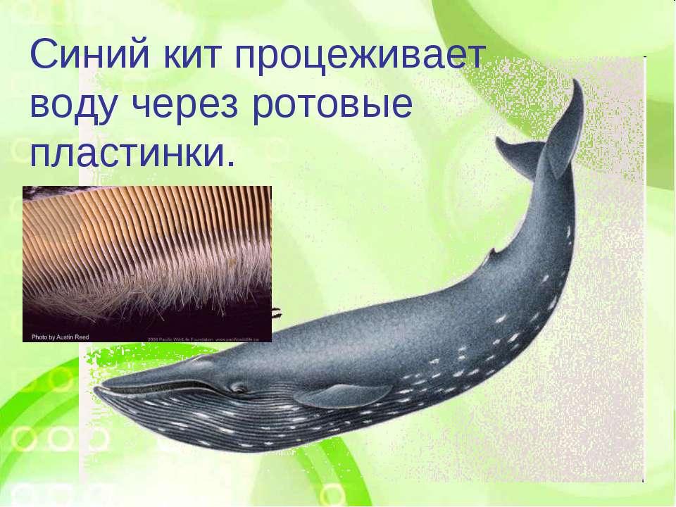 Синий кит процеживает воду через ротовые пластинки.