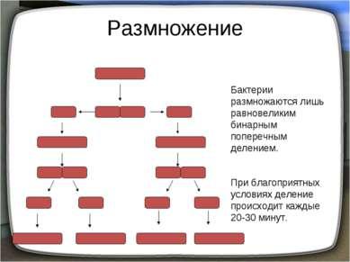 Размножение Бактерии размножаются лишь равновеликим бинарным поперечным делен...