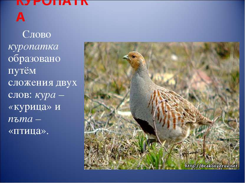 КУРОПАТКА Слово куропатка образовано путём сложения двух слов: кура – «курица...