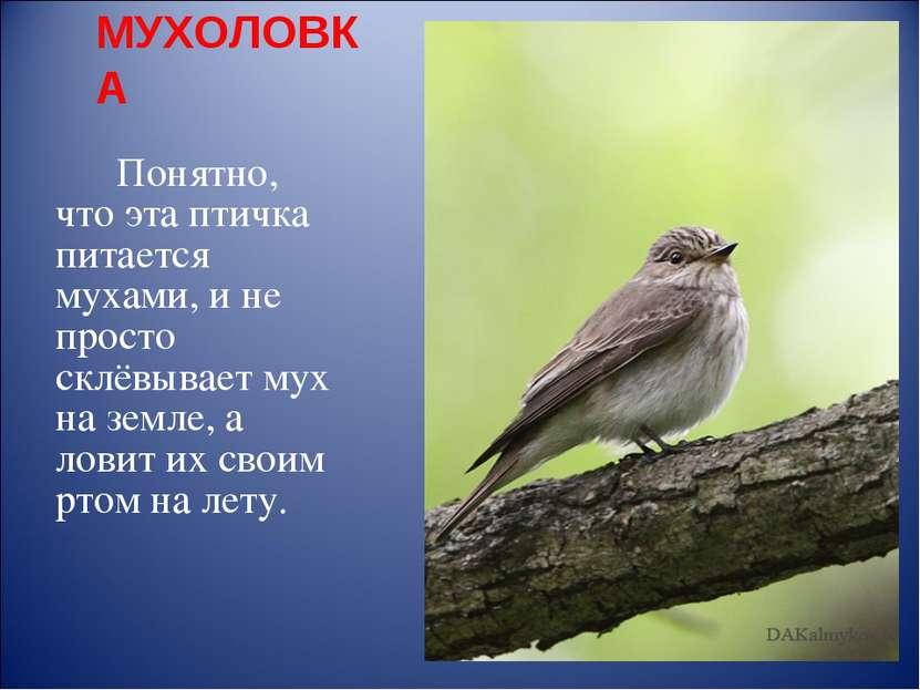 МУХОЛОВКА Понятно, что эта птичка питается мухами, и не просто склёвывает мух...