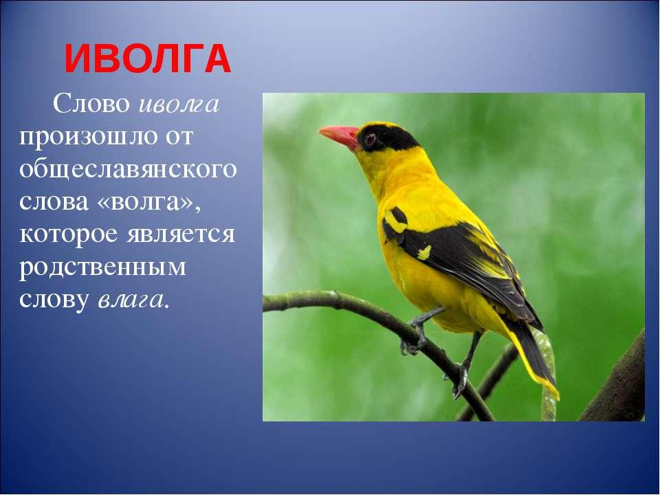 ИВОЛГА Слово иволга произошло от общеславянского слова «волга», которое являе...
