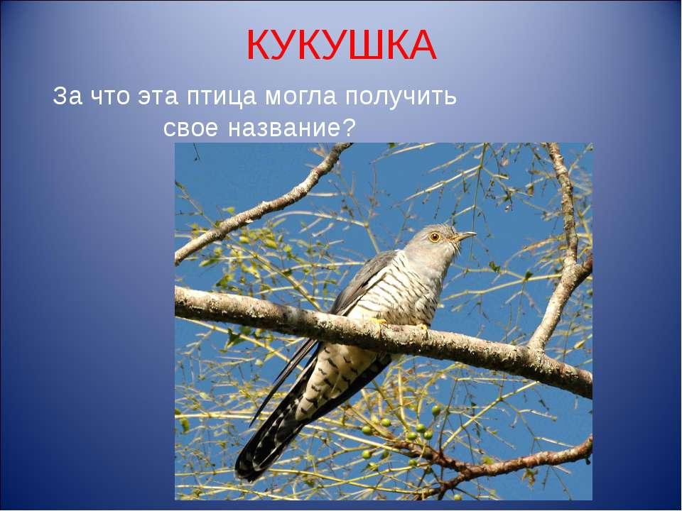 КУКУШКА За что эта птица могла получить свое название?