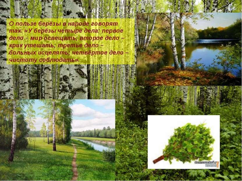 О пользе берёзы в народе говорят так: «У берёзы четыре дела: первое дело – ми...