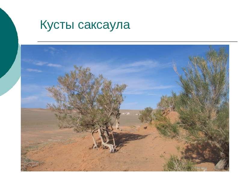 Кусты саксаула