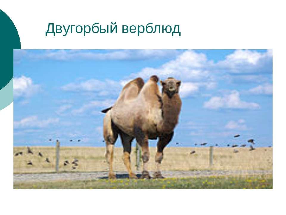 Двугорбый верблюд