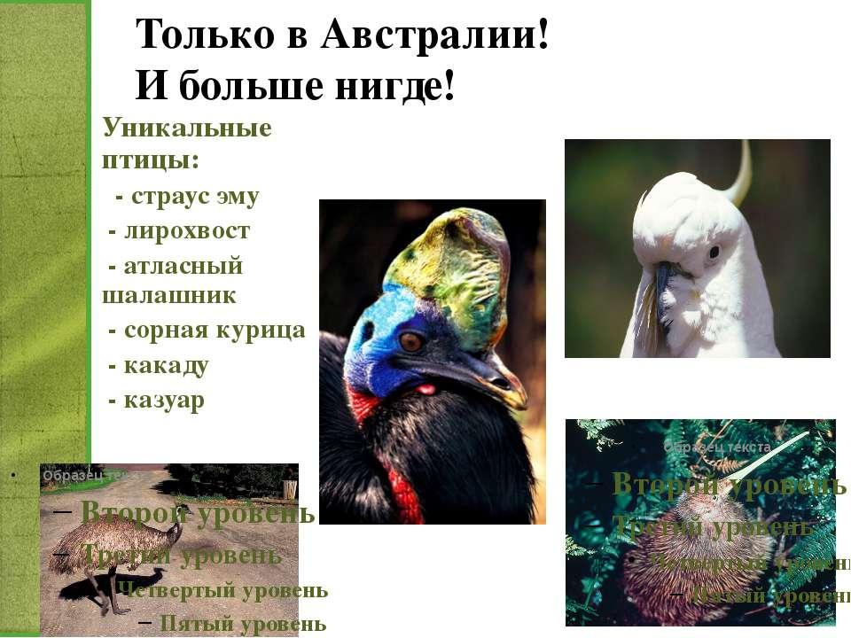 Только в Австралии! И больше нигде! Уникальные птицы: - страус эму - лирохвос...