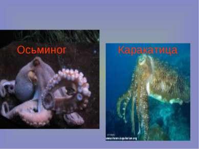 Каракатица Осьминог