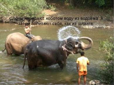 Слоны набирают хоботом воду из водоёма ,а затем поливают себя, как из шланга.