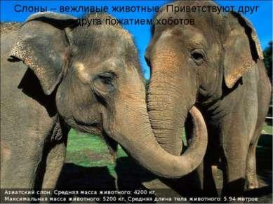 Слоны – вежливые животные. Приветствуют друг друга пожатием хоботов