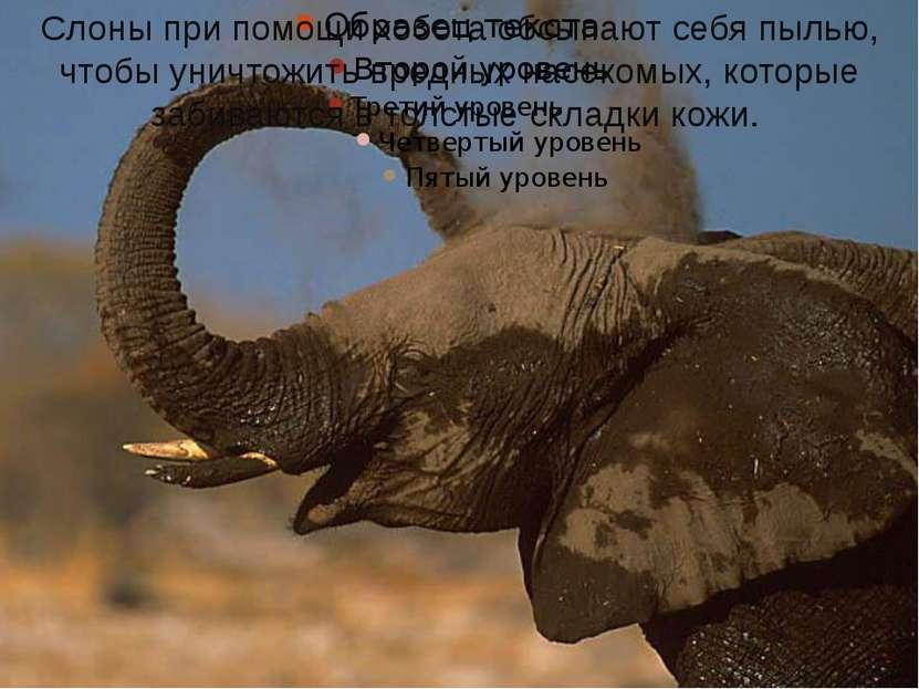 Слоны при помощи хобота обсыпают себя пылью, чтобы уничтожить вредных насеком...