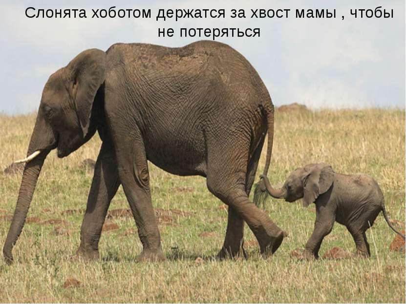 Как дети держатся за руку матери, так слонята ходят, держась хоботком за хвос...