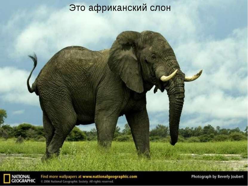 Это африканский слон