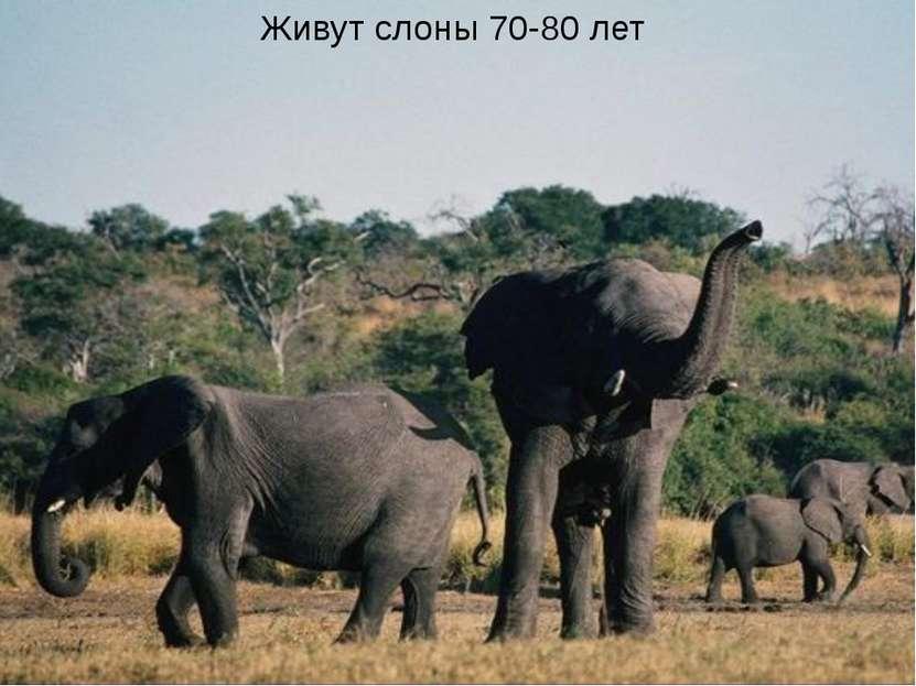 Живут слоны 70-80 лет