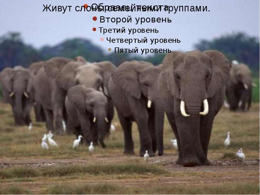 Живут слоны семейными группами.