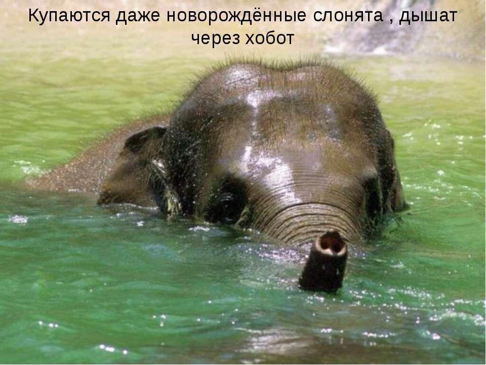 Купаются даже новорождённые слонята , дышат через хобот