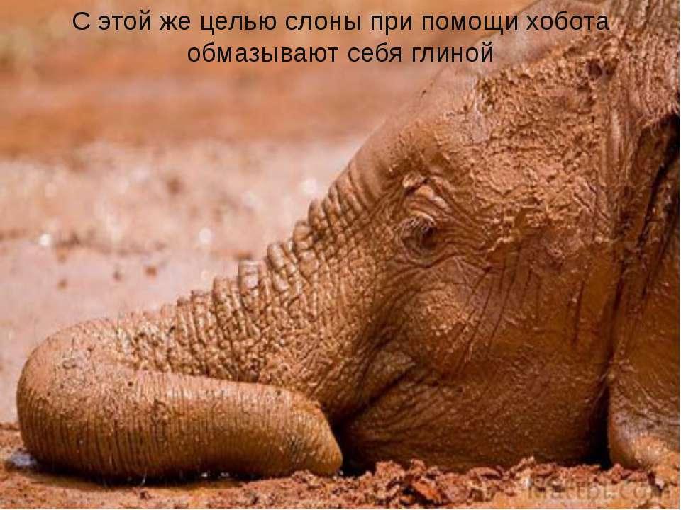 С этой же целью слоны при помощи хобота обмазывают себя глиной