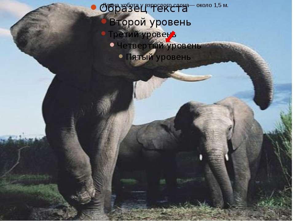 Длина хобота у взрослого слона— около 1,5 м.