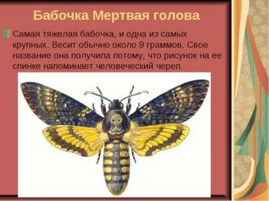 Бабочка Мертвая голова Самая тяжелая бабочка, и одна из самых крупных. Весит ...